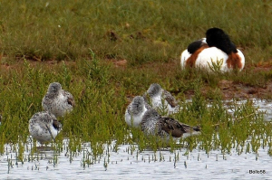 Group of roosting Greenshank with some Shelduck